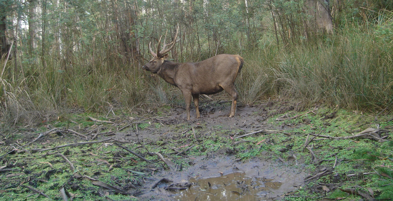 Sambar Deer - Wild Deer & Hunting Adventures