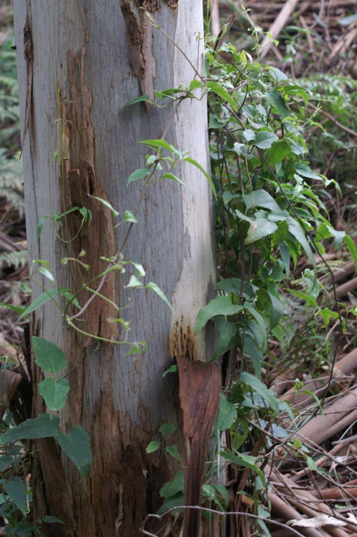 Some Examples of Sambar Deer Food Plants