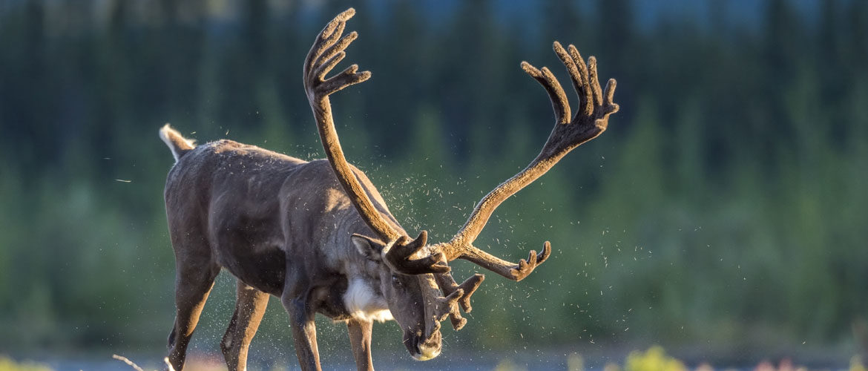 North American Caribou